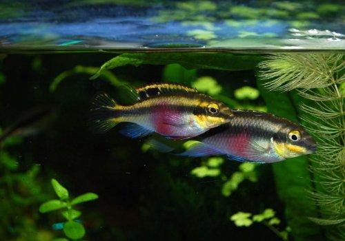 Пельвикахромис пульхер (Pelvicachromis pulcher)