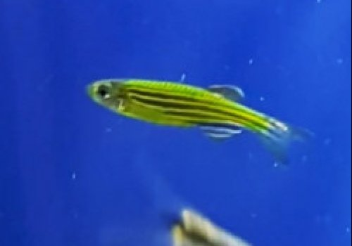 Данио арбуз (Green Danio GloFish)