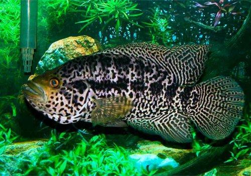 Манагуанская цихлазома (Parachromis managuensis)