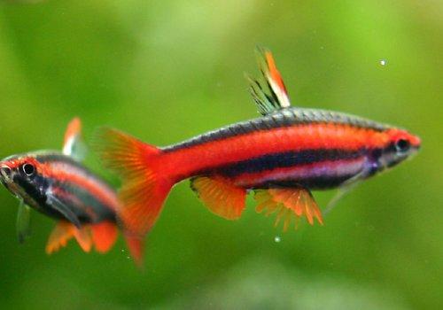Нанностомус красный (Nannostomus bekfordi)
